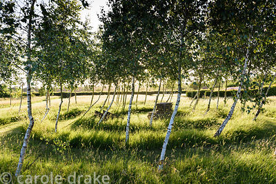 Birch maze with mown path through long grasses at Malthouse Farm, Hassocks, Sussex