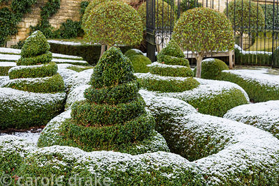 Parterre of clipped box dusted with snow in January at Bourton House in the Cotswolds, plus mophead Prunus lusitanica 'Myrtif...