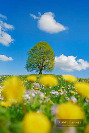 Lime tree in dandelion meadow (lat. tilia) - Europe, Switzerland, Zug, Zuger See, Menzingen - Neuheim - digital