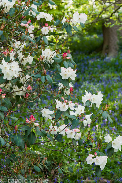 Rhododendron 'Clotted Cream' x 'Isabella' in the Dell.