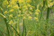 delicate umbels of flowering fennel - close-up