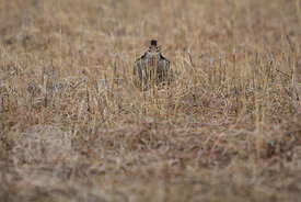 Great Prairie Chicken (Tympanuchus cupido) mating display