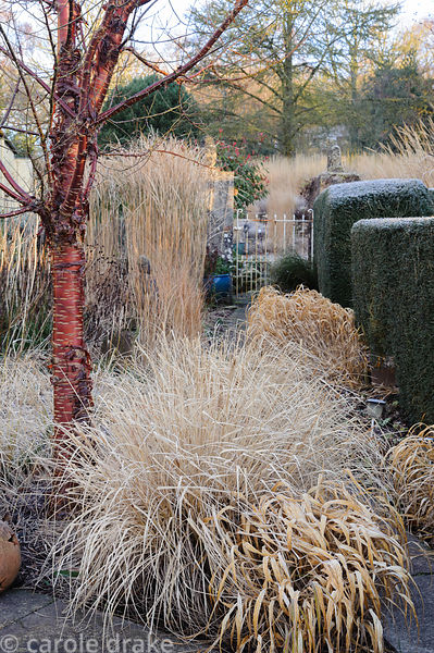 Papery bleached grasses Pennisetum alopecuroides 'Black Beauty' and Hakonechloa macra below the shiny red and orange bark of ...