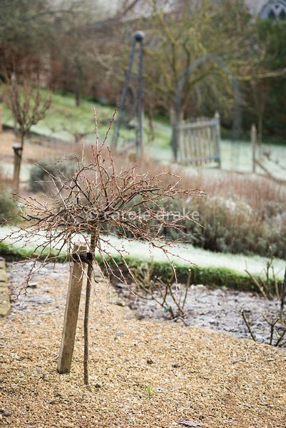 Small standard gooseberry bush in the formal garden at the Old Rectory, Netherbury in January
