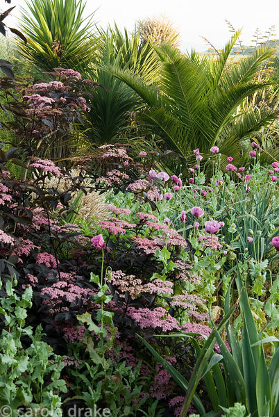 Border full of self seeded pink opium poppies amongst deep purple elder, spikey phormiums, date palms and cordylines. Ednovea...