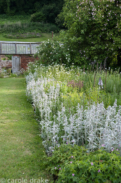 Beds packed with grey Stachys byzantina, hardy geraniums and oxeye daisies, beside grass path and Victorian glasshouse being ...