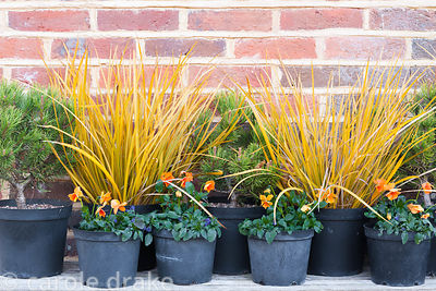 Pots of Libertia ixioides 'Goldfinger', orange violas and pines beside the main door of the house. Terstan, Stockbridge, Hant...
