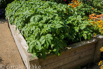 Raised bed with potato crop. Haddon Lake House, St Lawrence, Isle of Wight, UK