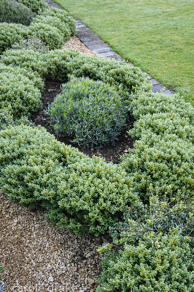 Hebe pinguifolia 'Sutherlandii' used to replace a border of diseased box, interspersed with lavender and Euonymus fortunei 'E...