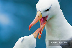 Black-browed albatross Mating behaviour (lat. diomedea melanophris) - South America, Falkland Islands, Saunders Island - digi...