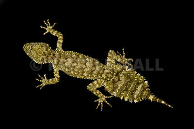 Granite leaf-tailed gecko (Saltuarius wyberba)
