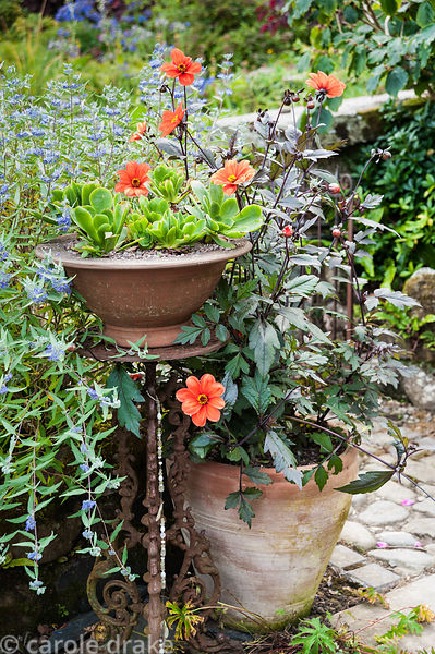 Pot of succulents in the front garden surrounded by dahlia and blue caryopteris. Dyffryn Fernant, Fishguard, Pembrokeshire, W...