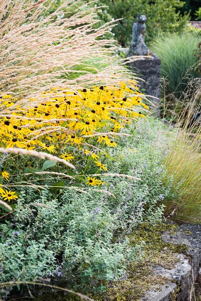 Rudbeckia fulgida var. deamii sandwiched between Calamgrostis x acutiflora 'Karl Foerster' and Nepeta 'Six Hills Giant' at Ba...