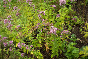 Bush of flowering Marjoram