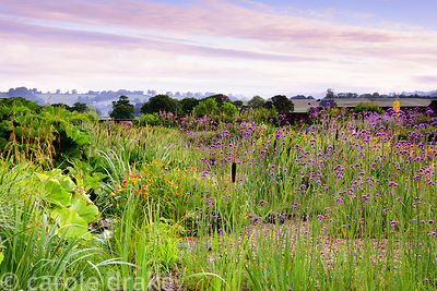 Gravel garden planted with Verbena bonariensis, day lilies and Carex pendula at the Yeo Valley Organic Garden, Blagdon, Somer...
