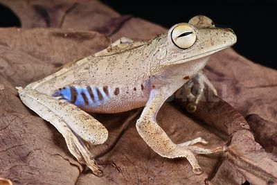 Blue-flanked tree frog (Hyla calcarata)