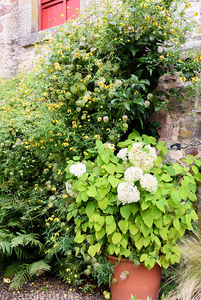 Container planted with hydrangea surrounded by Clematis tangutica, ferns and grasses in the Upper Courtyard at Broadwoodside,...