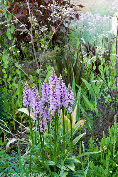 Dactylorhiza fuchsii surrounded by Anthriscus sylvestris 'Ravenswing' and Persicaria macrocephala 'Red Dragon'. Ivy Croft, Le...