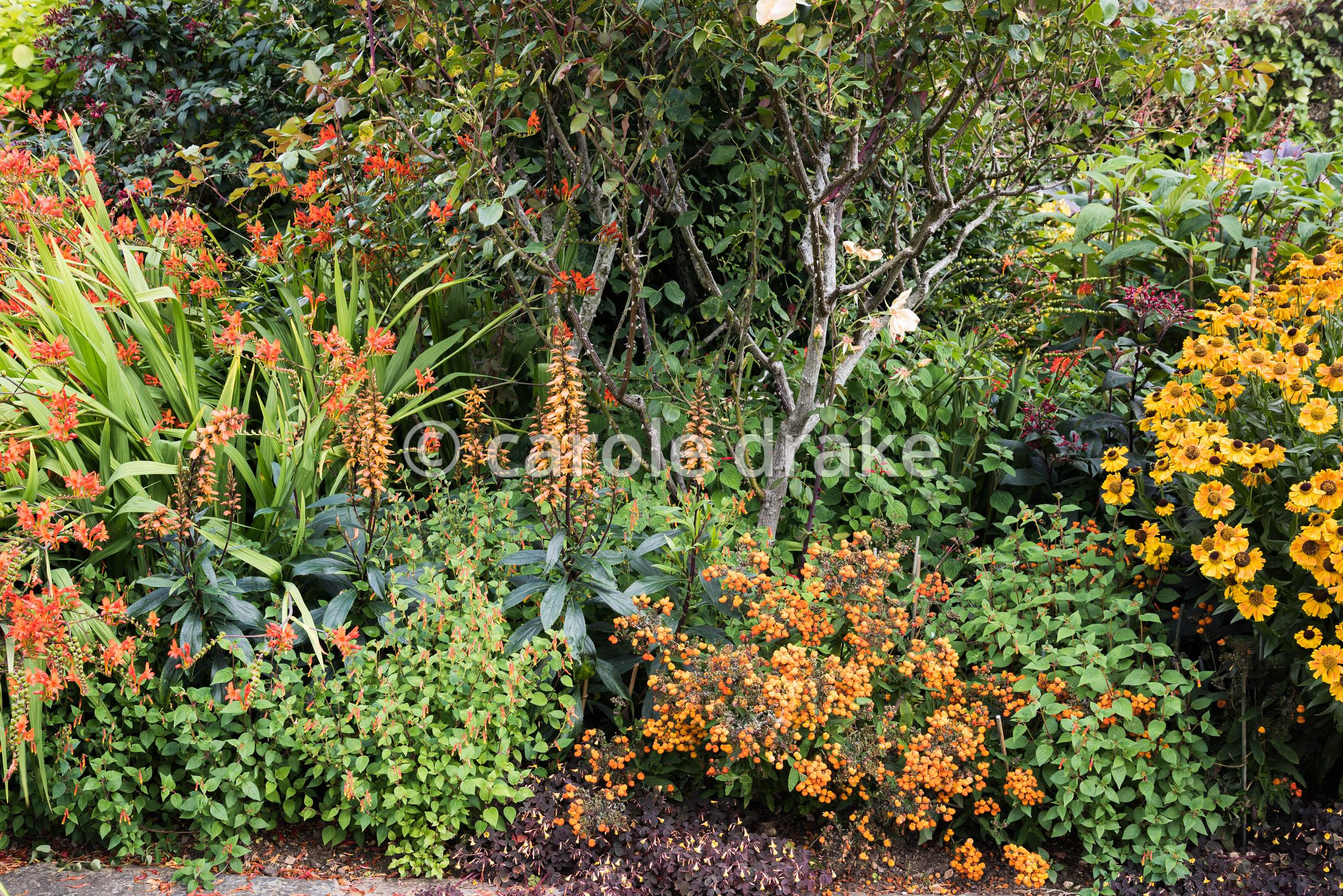 Late summer border at Bourton House, Moreton-in-Marsh in August with Digitalis canariensis, Cuphea cyanea, Calceolaria integr...