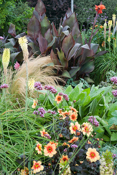 Dahlia 'Moonfire' with kniphofias, Verbena bonariensis, dark leaved cannas and soft grasses, in the sunken garden. Crab Cotta...