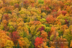 Deciduous forest with sugar maples in autumn colours - North America, Canada, Quebec, Laurentides, Mont-Tremblant (Laurentian...