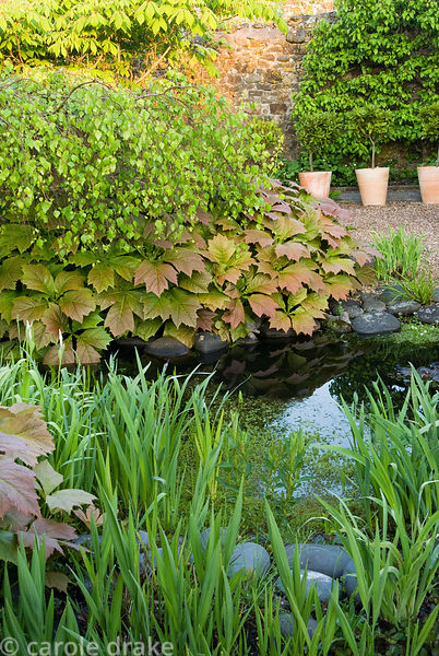 Path in end section of the garden is framed with rodgerias, a weeping birch and other water loving plants including ferns, wi...