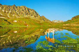 Mountain impression mirroring Albula Alps and cow in Albulasee - Europe, Switzerland, Graubünden, Engadin, Albulapass (Alps, ...