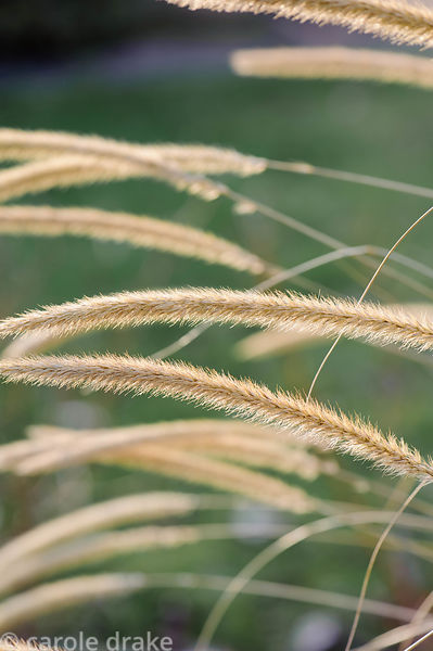 Pennisetum macrourum. Barn House, Brockweir Common, Glos, UK