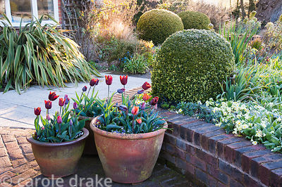 Pots of strong coloured tulips are grouped beside brick edged raised beds in the front garden where box spheres give year rou...