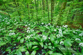 Bear garlic in beech forest (lat. allium ursinum) - Europe, Switzerland, Zürich, Zürichsee, Sihlwald - digital