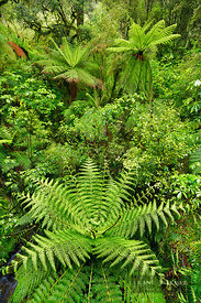 Temperate rainforest with palm ferns - Oceania, New Zealand, South Island, Southland, Fiordland, Cleddau River, The Chasm (Po...