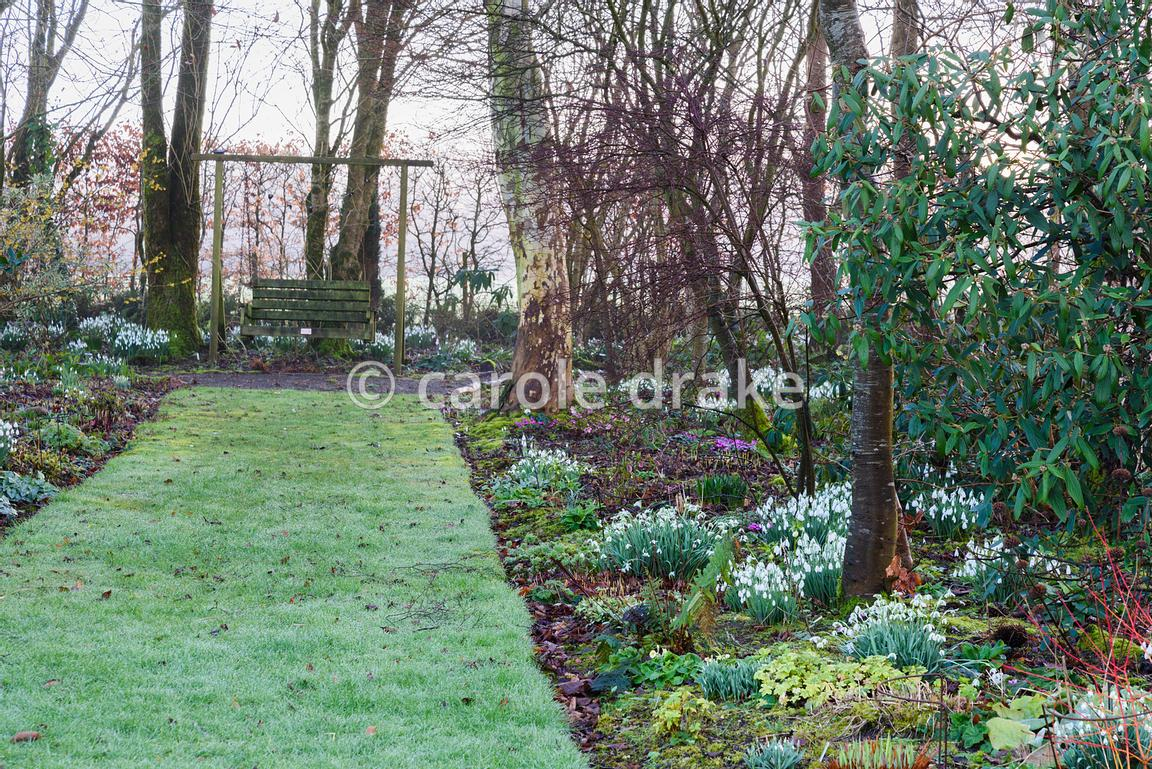 Clumps of snowdrops and Cyclamen coum illuminate borders below trees and shrubs at Higher Cherubeer, Devon in February