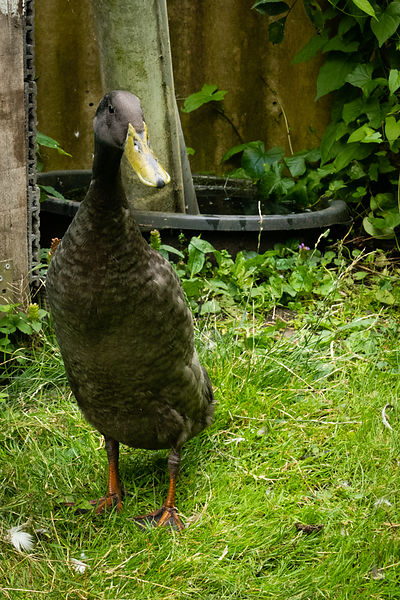 Indian Runner duck standing on it's gard