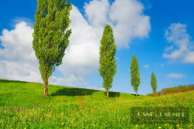 Poplar row  (lat. populus) - Europe, Switzerland, Basel-Landschaft, Sissach, Hemmiken (Alps, Swiss Jura) - digital