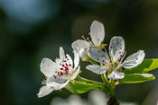 Pear blossom flower heads - bokeh