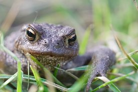 Frontal close up of a male European common toad , Bufo bufo through the grass