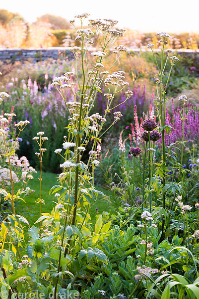 Densley planted beds with a mix of herbaceous perennials including Allium 'Firmament', Valeriana officinalis, sedums, salvias...