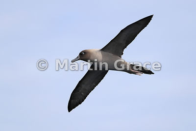 Light-Mantled Sooty Albatross (Phoebetria palpebrata) in flight, Drake Passage, Southern Ocean, Antarctica