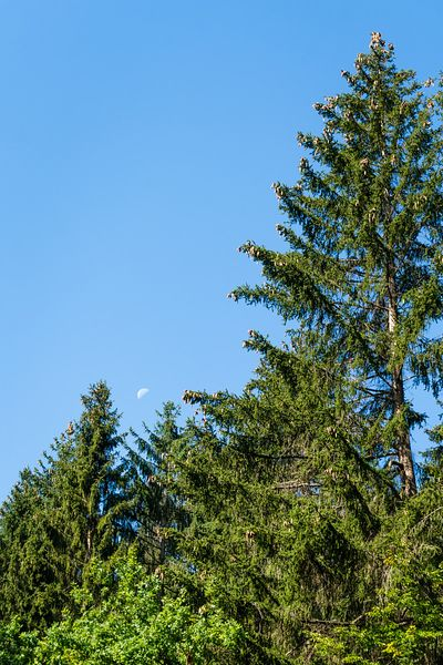 Pines morning greetings to the fading moon