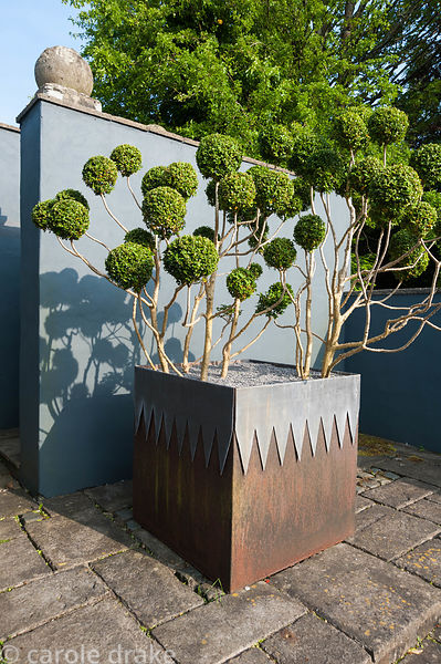 Steel planter with lead decoration contains cloud pruned box against a grey painted wall. Tony Ridler's garden, Swansea, Wale...