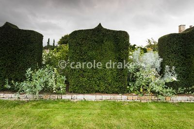 Clipped yew 'panels' in the White Garden at Bourton House, Moreton-in-Marsh in August with Romneya coulteri, eryngiums and ar...