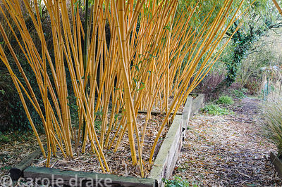 Phyllostachys vivax f. aureocaulis in raised beds constructed using railway sleepers is used to screen the garden from the ne...