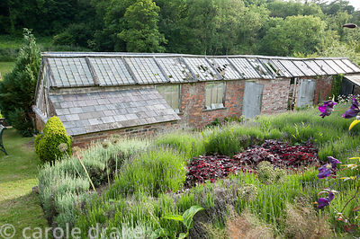 Victorian greenhouses, being restored to use, with beds of lavender and deep red heucheras in foreground. Littlebredy Walled ...