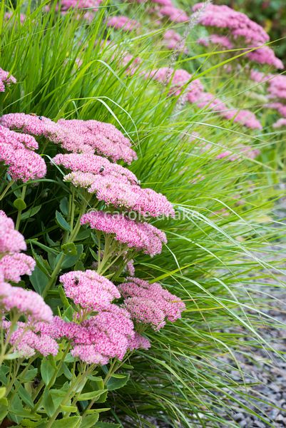 Sedum spectabile in September