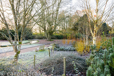 Vivid stems of Cornus sericea 'Flaviramea' amongst white stemmed birches and frosted foliage on a January morning in the Wint...