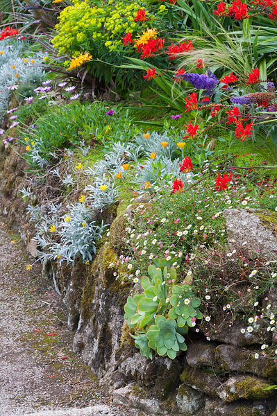 A retaining wall alongside a path is colonised by Erigeron karvinskianus, succulents, osteospsermums and gazanias, with plant...