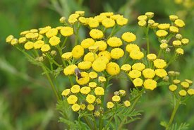 Yellow common dagwort , Tanacetum vulgare, flowers with a visiting bee