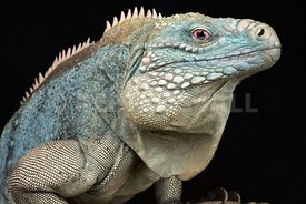Grand Cayman blue iguana (Cyclura lewisi)