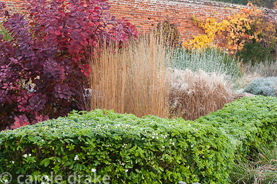Curving hedge of clipped Choisya ternata runs between stands of Calamagrostis x acutiflora 'Karl Foerster', Cotinus coggygria...