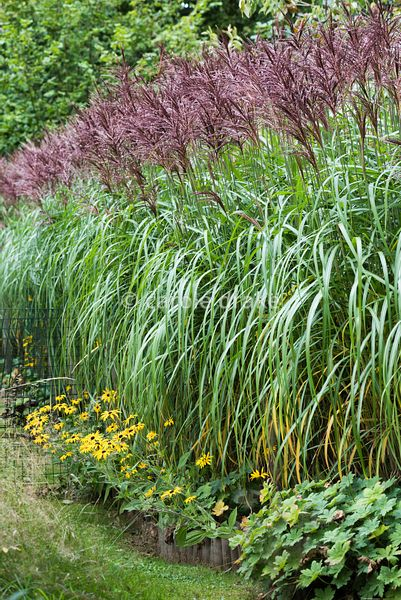 Miscanthus sinensis 'Malepartus' in September underplanted with rudbeckias